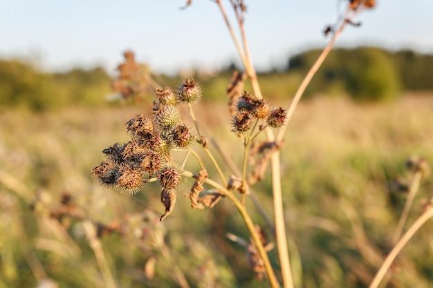 마른 우엉꽃 대우엉 arctium lappa