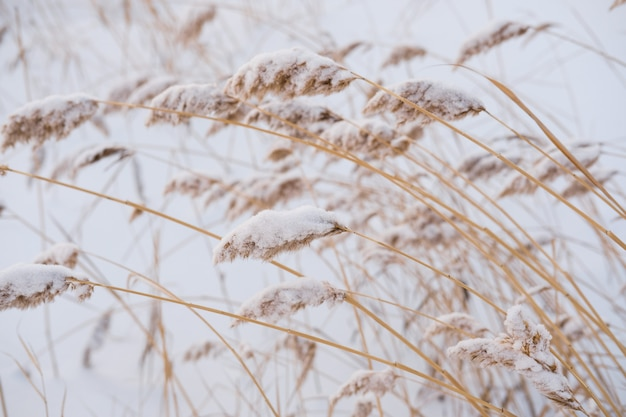 Dry coastal reed covered with snow