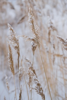 Dry coastal reed cowered with snow, vertical nature