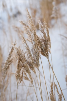 Dry coastal reed cowered with snow