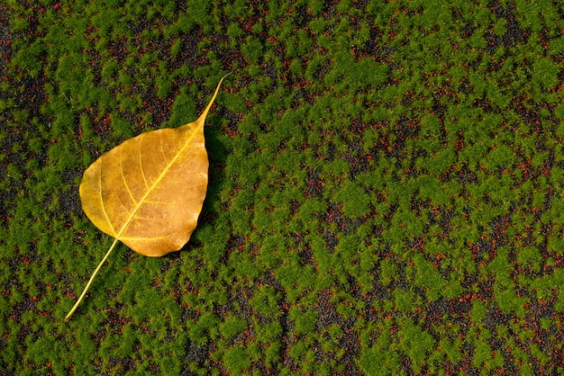 Dry colorful yellow ,goldenbo leaf on floor with green moss background.