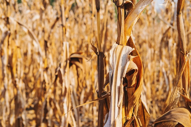 Dry corn plant background and dry corn fields