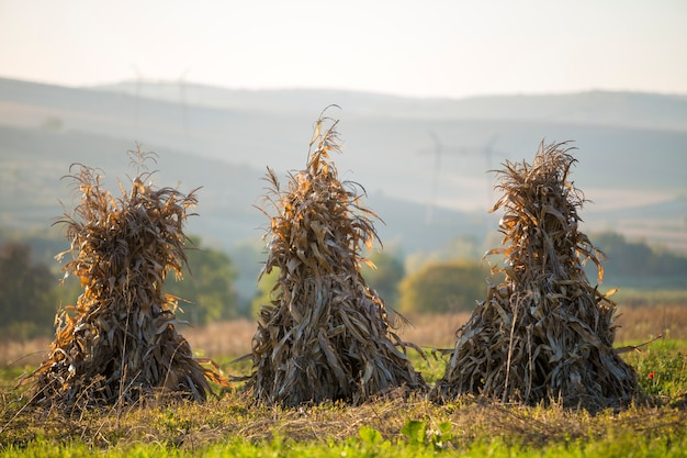 Dry corn stalks golden sheaves in empty grassy field after harvest on foggy hills and cloudless