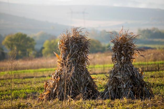 Dry corn stalks golden sheaves in empty grassy field