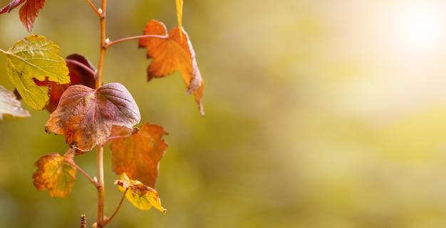 Сухие листья смородины в саду на размытом фоне. осенний фон