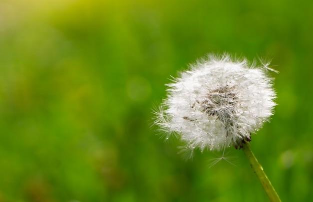Dry dandelion flower against green grass at spring.