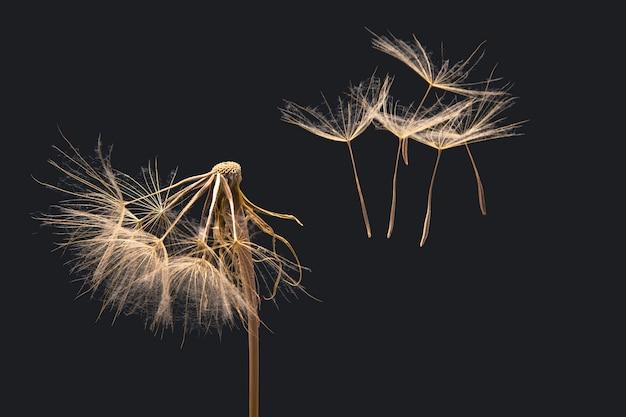乾燥したタンポポの種が花から飛び去る