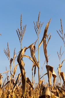 Сухие темно-желтые стебли кукурузы со спелыми твердыми почками и семенами, используемые для силоса и приготовления кормов, осенний сезон.