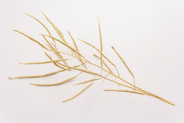 Dry decorative grass isolated on a white background. great element for a bouquet in floristry. ornamental plant for attractive flower arrangements
