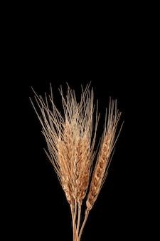黒の背景に小麦やライ麦の乾燥した耳自然な黄金色