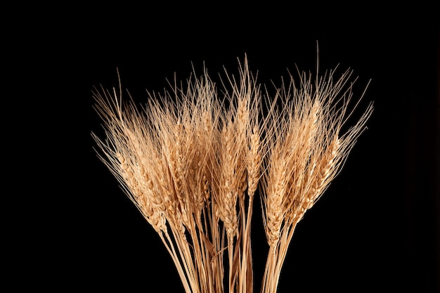 Dry ears of wheat or rye isolated. natural golden color of the plant.