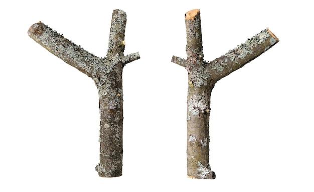 リンゴの木の乾いた二股の枝は直立し、樹皮の上に帯状疱疹が生い茂り、影のない白い背景に隔離されています。 Premium写真