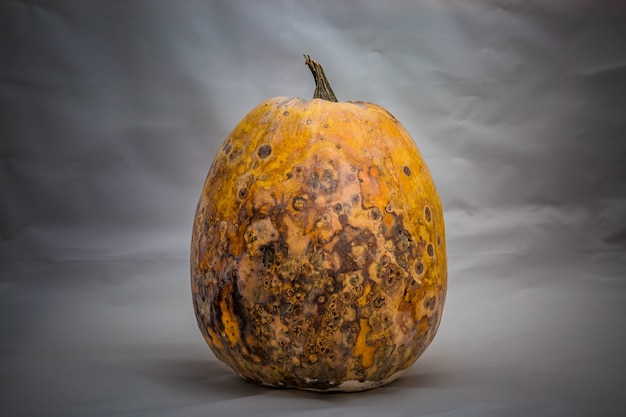 Dry and foul pumpkin on a light gray background the problem with expired and spoiled products