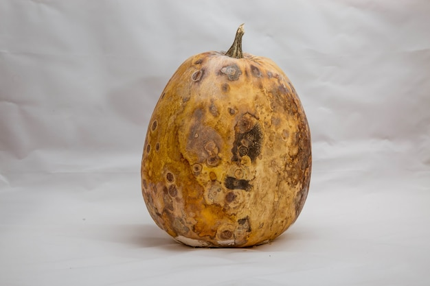 Dry and foul pumpkin on a white background the problem with expired and spoiled products
