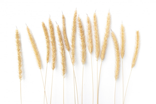 Dry fountain grass isolated on white background