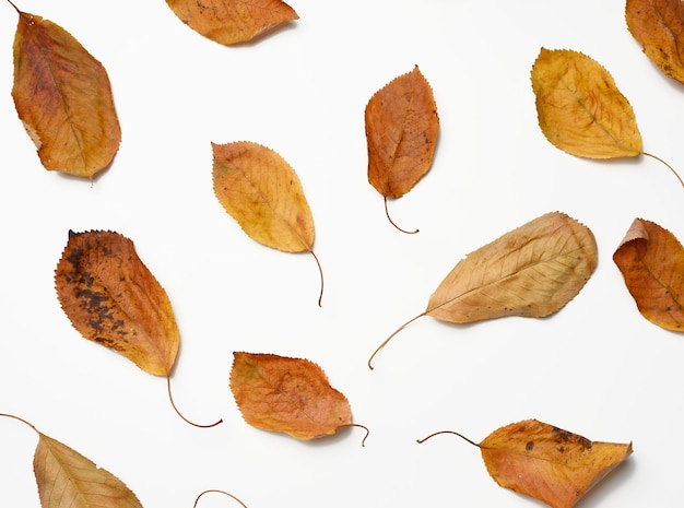 Dry golden cherry leaves on white background, top view