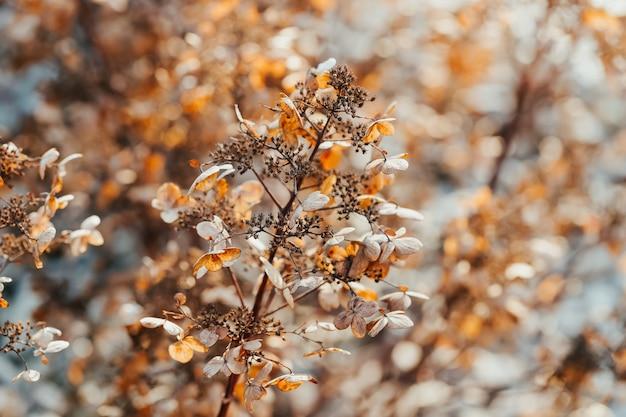日光の下で金色のアジサイまたはオルテンシアの花を乾燥させる