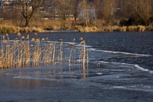마른 잔디와 흐린 강 배경에 바람에 날리는 갈대