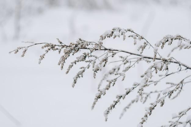 新雪に覆われた乾いた草をクローズアップ