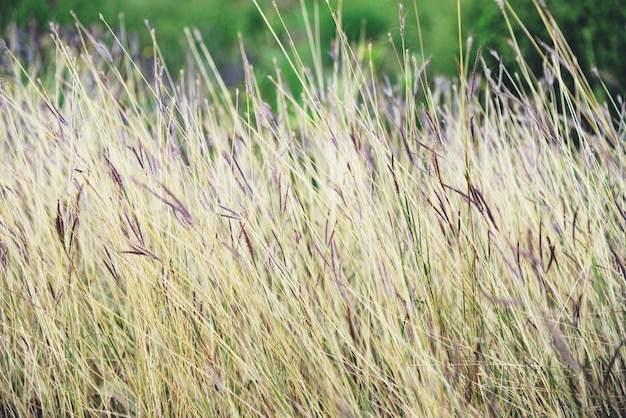Dry grass on field in forest nature summer / yellow and green grass plant on nature blur