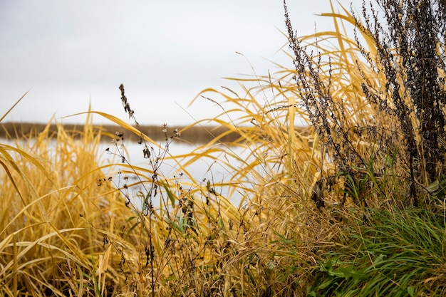Dry grass grows on the shore of the lake. beautiful natural background image. yellow and green autumn grass grows by water