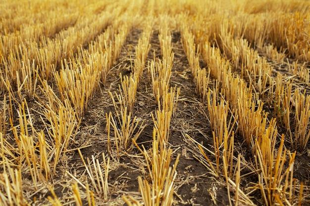 Сухая трава пшеницы в летний день. концепция сельского хозяйства.