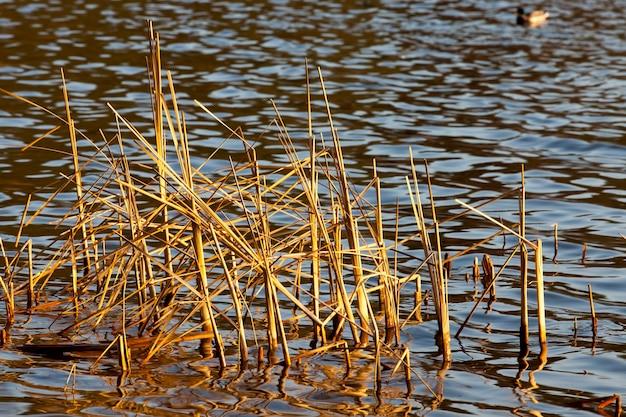 湖の乾いた草