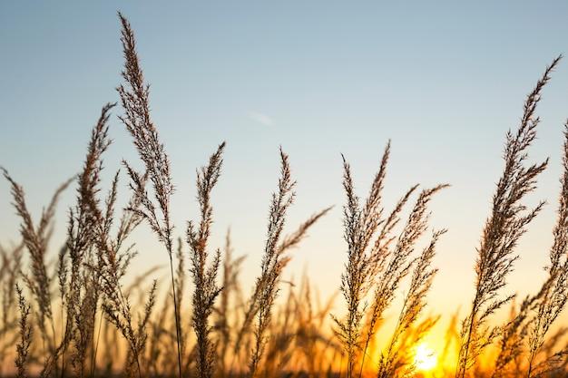 Сухие метелки пампасов на фоне оранжевого неба с заходящим солнцем. природа, декоративный тростник, экология. летний вечер, сухая осенняя трава