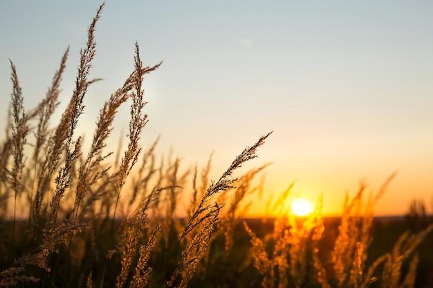 Сухие метелки пампасов на фоне оранжевого неба с заходящим солнцем.