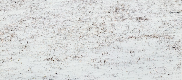 乾いた草が雪の下から覗く、冬の背景