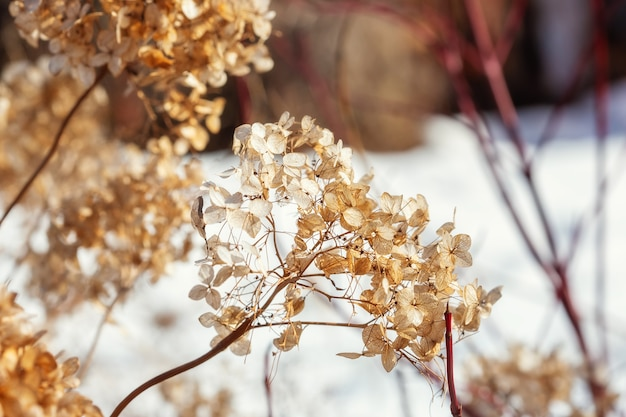 Dry hydrangea flowers on a bush