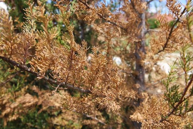 乾燥したジュニパーの枝のクローズアップ。貧しい木の世話の概念。