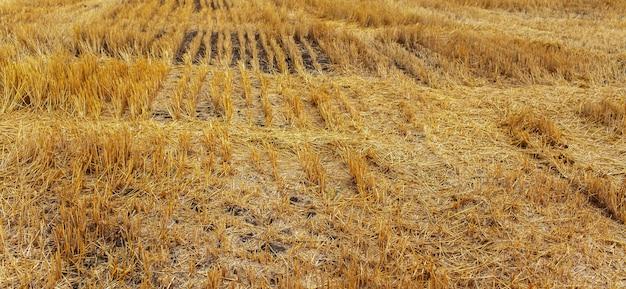 수확 후 마른 땅. 농업 개념입니다. 파노라마 사진입니다.