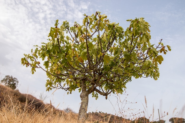Dry landscape with a fig tree