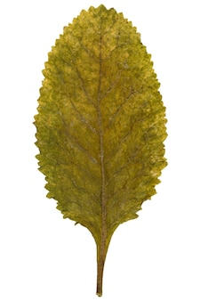 Dry leaf from herbarium isolated on white background.