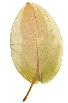 Dry leaf hosta from herbarium isolated on white background.