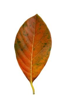 白い背景の上の乾燥した葉