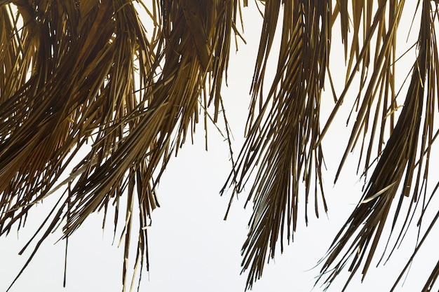 Dry leaves of a coconut tree