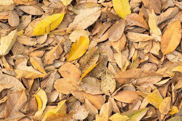 木から落ちる乾燥した葉。夏の秋に落ちる葉の木。