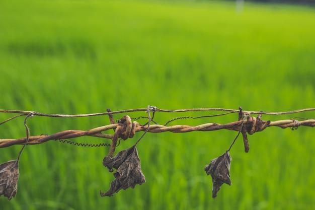 Сухие листья, висящие от колючей проволоки с зеленой травой на заднем плане