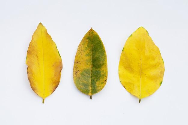 白い表面の乾燥した葉