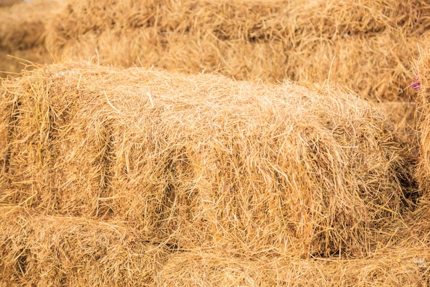 Dry livestock feed straw stack for autumn preparation in farm animal food feeding industry