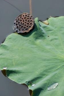 Dry lotus seed bud