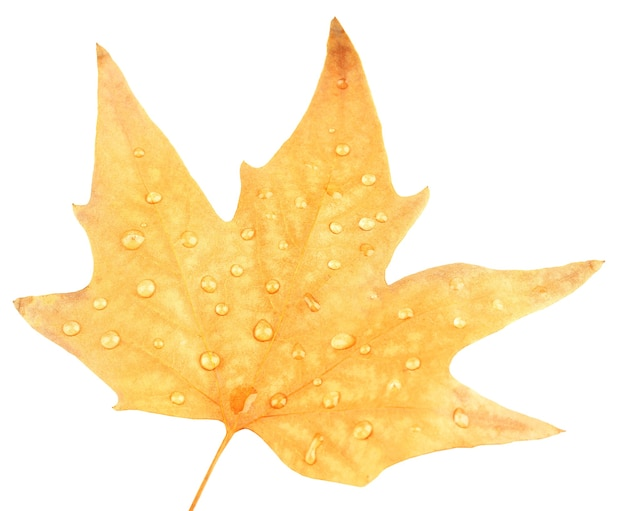 Dry maple leaf with drops, isolated on white