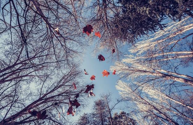 Сухие кленовые листья падают с деревьев, фотография сделана под низким углом