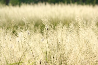 Dry meadow and field  in Thailand  countryside in summer