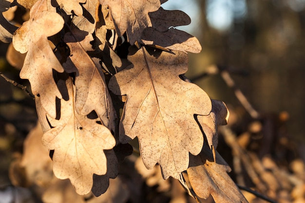 Dry oak leaves on branches in the autumn season. close-up photo