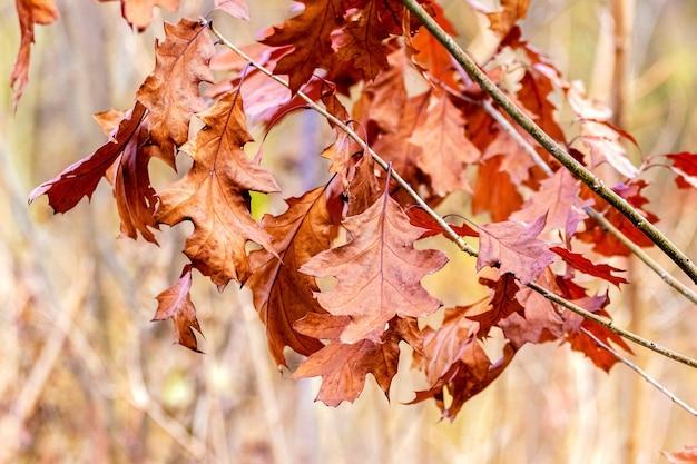森の中の乾燥したオークの葉