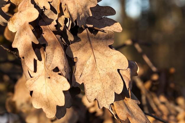 秋の季節に枝に乾燥したオークの葉。クローズアップ写真