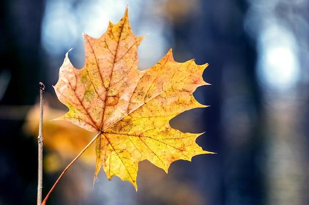 木の背景に森の中の乾燥したオレンジ色のカエデの葉